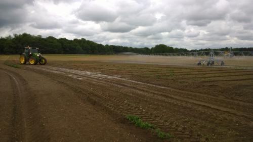 11 Irrigation carrots